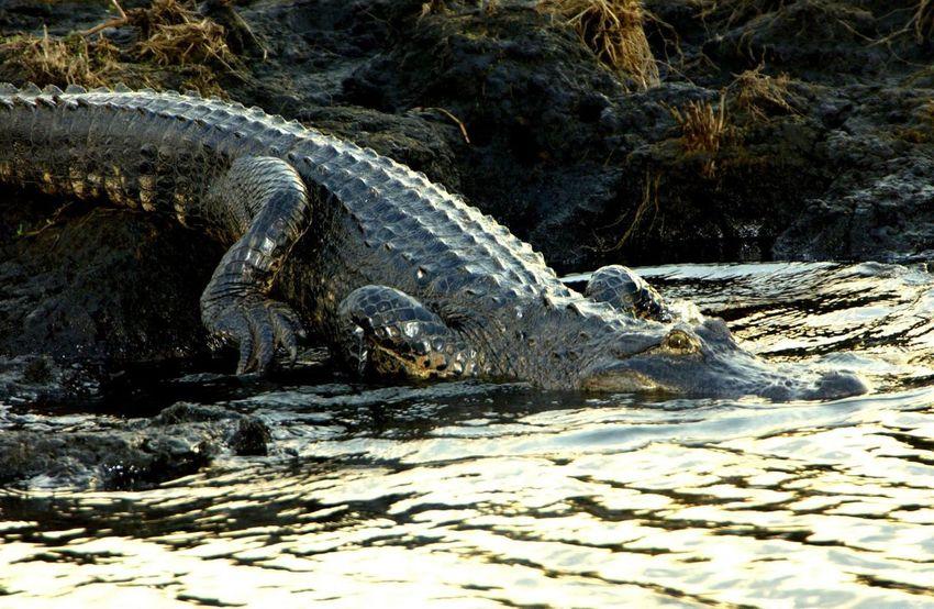 Swamp Life Crocodile Everglade Danger Everglades