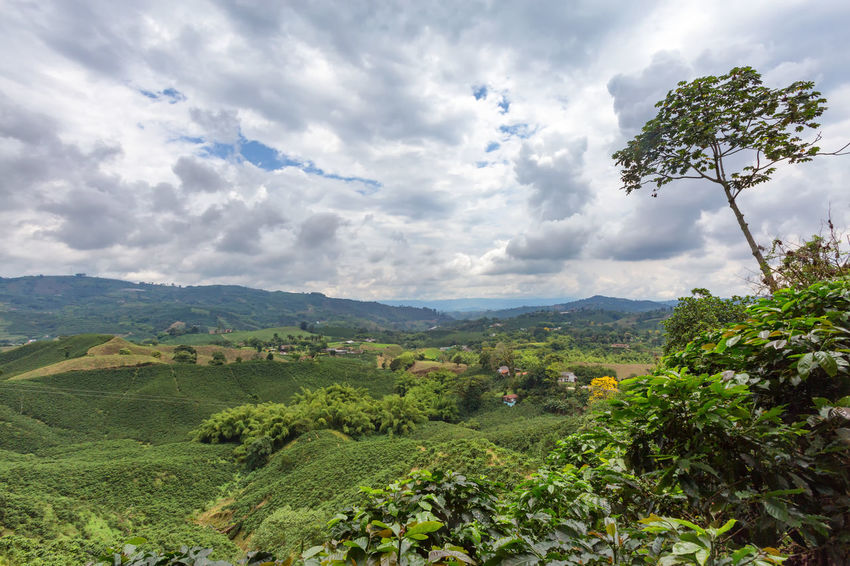Verdant hills covered in green coffee trees at a plantation near Chinchina, Colombia. Andes Caffeine Coffee Colombia Farm Latin Manizales Nature Plant South Travel America Arabica Bean Caldas Chinchina Colombian  Drink Landscape Mountain Organic Plantation Robusta Triangle Tropical