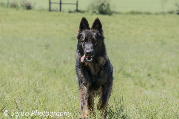 German Shepherd Sable Working Dog Running Playing Field Fun Pets Tamron18400 Canon80d📷 Canonphotography Tamronlens EyeEm Selects Dog Pets German Shepherd Grass Animal Happiness One Animal Mammal Outdoors Summer Looking At Camera Domestic Animals Day Animal Themes