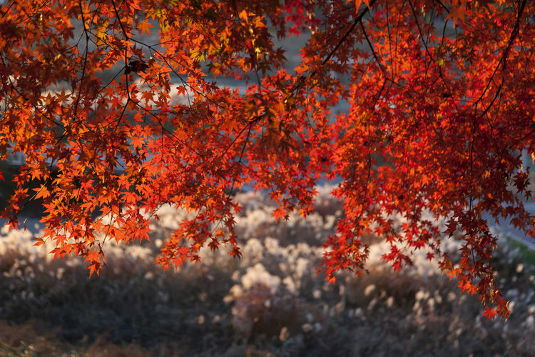 autumn at Anyangcheon in Seoul, South Korea Anyangcheon Autumn Fall Beauty Autumn Autumn Color Beauty In Nature Branch Change Close-up Day Fall Freshness Growth Leaf Maple Tree Nature No People Orange Color Outdoors Red Scenics Sky Tree