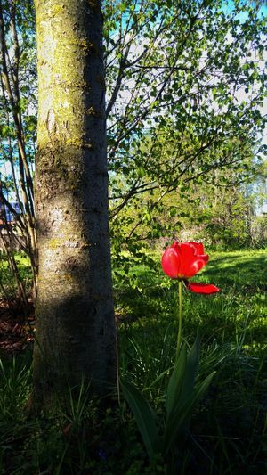Growth Flower Nature Red Day Grass Beauty In Nature Outdoors Field Tree Fragility Green Color No People Plant Poppy Freshness Flower Head Close-up