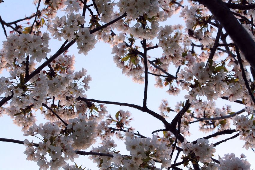 Beauty In Nature Beauty In Nature Blossom Branch Cherry Blossoms Close-up Day Fragility Freshness Growth Italy Low Angle View Nature Nature Nature Photography Nature_collection No People Outdoors Sky Spring Spring Blooms Springtime Tree