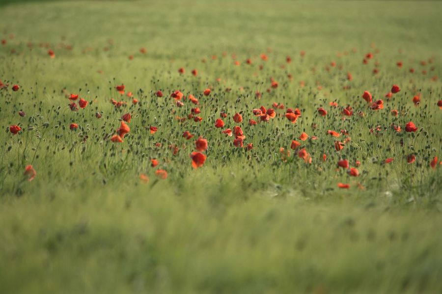 Poppies In Cereal Field Red Poppy Flower Agrarwirtschaft Field Flowers Poppies Field Poppy So Beautiful View Nature Collection Nikon_photography_ Enjoying The Moment The Great Outdoors - 2017 EyeEm Awards Eyeem4photography EyeEm Gallery Hello World Baden Austria Nature Flower Capture The Moment Cornfield So Wonderful Flowers Enjoy The Nature Nikon_photography Perfect Shot Outdoors Great View Sommergefühle Paint The Town Yellow Be. Ready. EyeEmNewHere Colour Your Horizn Summer Exploratorium 10 The Great Outdoors - 2018 EyeEm Awards