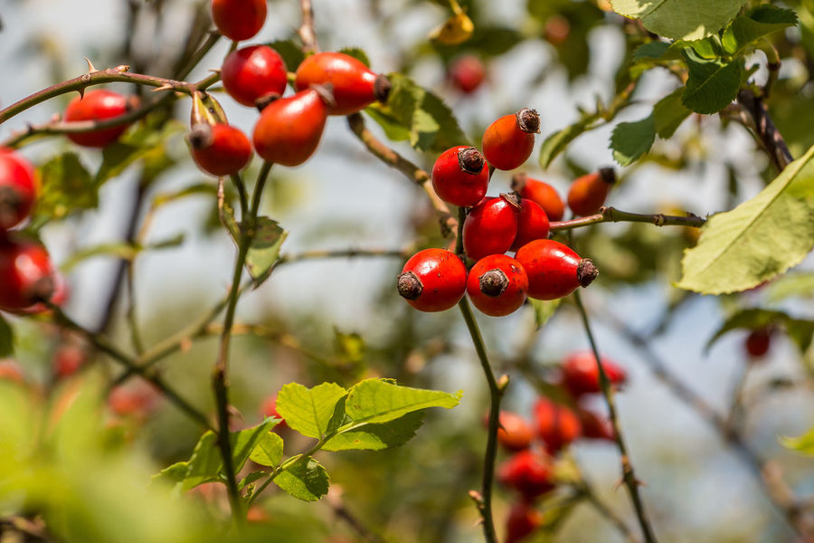 Red rose hips and green leaves on a bush in the garden Beauty In Nature Berry Fruit Branch Close-up Day Focus On Foreground Food Food And Drink Freshness Fruit Green Color Growing Growth Healthy Eating Leaf Nature No People Outdoors Plant Red Rose Hip Rowanberry Tree Twig