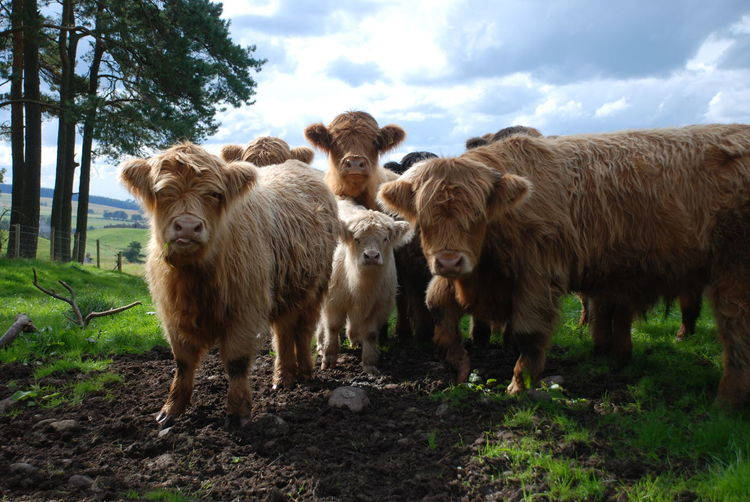 Scotland Animal Themes Calf Cow Day Field Grass Highland Cattle Livestock Mammal Nature No People Outdoors Sky Standing Tree