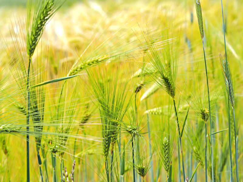 Gerstefeld Agriculture Barley Field Cereal Plant Ernte Erntezeit Field Field Food Gerste Gerstenfeld Getreide Growing Growth Harvest Time Landwirtschaft Nahrungsmittel Nature No People Outdoors Plant Selective Focus Yellow