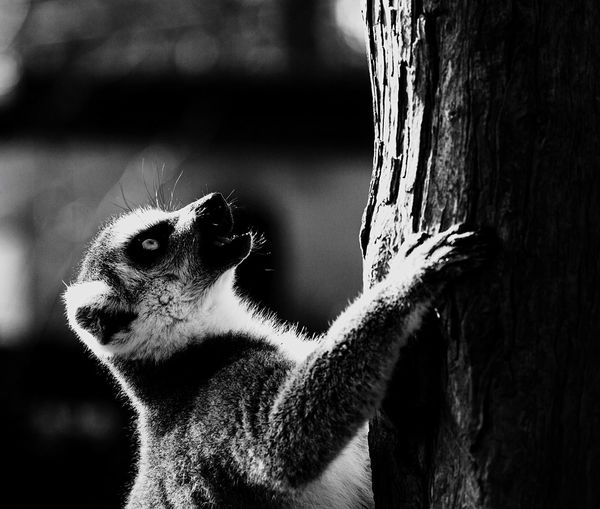 Close-up of lemur climbing on tree