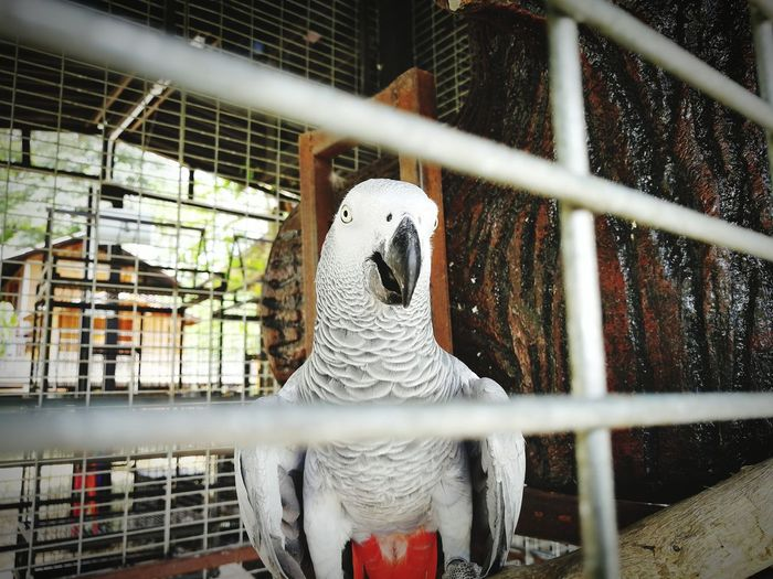 A White parrot in a cage at a petting zoo. Bird Bird Photography Birds_collection Birds Of EyeEm  Birdwatching Birds🐦⛅ Bird Watching White Gray EyeEm Selects Prison Trapped Bird Prisoner Cage Rear View Birdcage Captive Animals Wire Mesh Zoo Captivity Parrot Grid