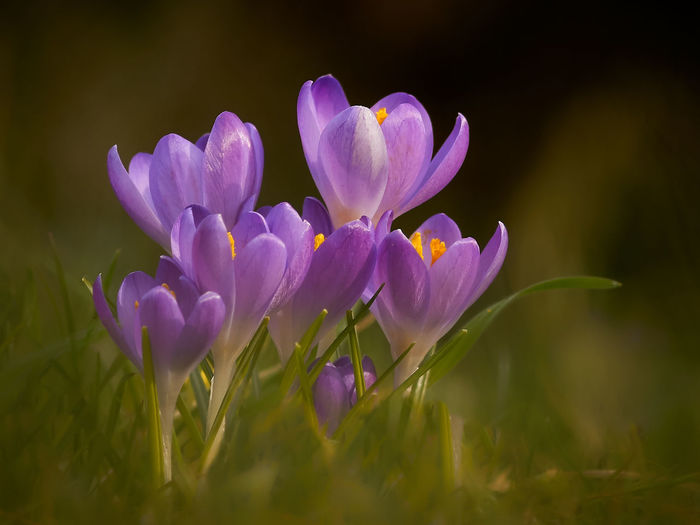 7 Krokusse Flowering Plant Flower Plant Beauty In Nature Freshness Fragility Close-up Petal Growth Purple No People Nature Selective Focus Field Land Day Flower Head Crocus