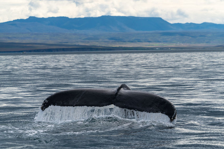 Iceland Animal Animal Themes Animal Wildlife Animals In The Wild Aquatic Mammal Beautifuliceland Beauty In Nature Day Mammal Marine Mountain Mountain Range Nature No People One Animal Outdoors Sea Sea Life Tail Fin Underwater Vertebrate Water Whale