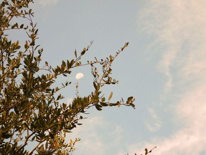 Framing the moon Tree Low Angle View Branch Sky High Section Cloud Day Botany Moon Nature Cloud - Sky