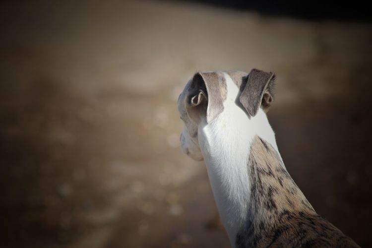 Focus Dog Galgo