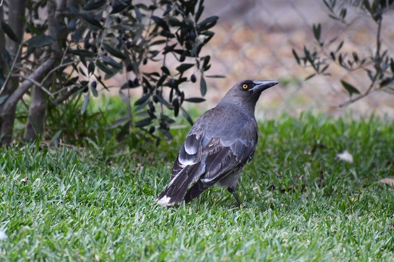 Grey Currawong Bird Animal Themes Animal Animal Wildlife Vertebrate Animals In The Wild Plant Close-up Full Length Side View Perching Selective Focus Outdoors Day Growth Green Color Nature No People Grass One Animal