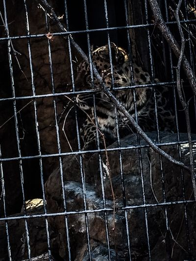 Here is a leopard chilling at the Denver Zoo. Big Cats Leopard Photo Wildlife Photography Animal Animal Photography Animal Themes Animal Wildlife Animals In Captivity Cage Close-up Leopard Mammal Nature No People One Animal Outdoors Zoo