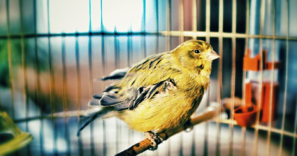 Animal Themes Animal Wildlife Animals In Captivity Animals In The Wild Bird Birdcage Budgerigar Cage Canary Close-up Day Domestic Animals Fat Focus On Foreground Indoors  Nature No People One Animal Perching Pets Unhealthy Eating Veterinary