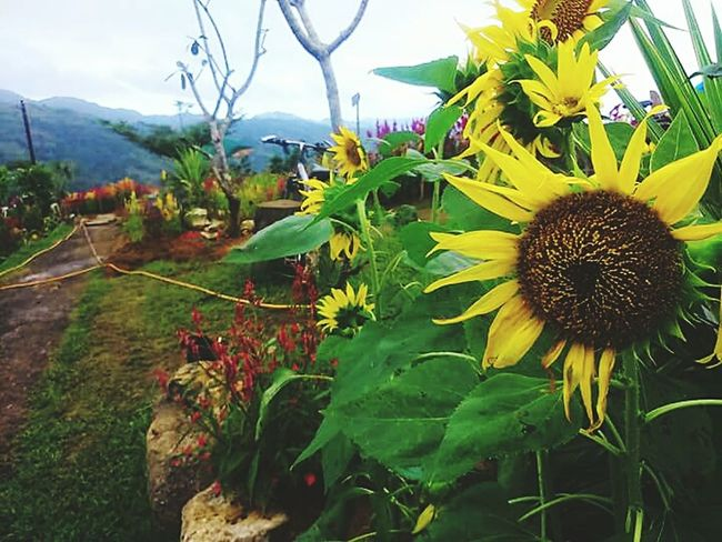 Flower Plant Flower Head Growth Nature Beauty In Nature Freshness Sky Leaf Petal Fragility Outdoors No People Close-up Tree Mountain Sunflower Day Sirao Flower Farm Cebu
