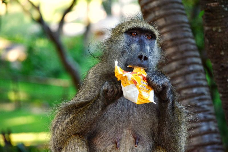 Human Food Lion And Cheetah Park Harare Zimbabwe 🇿🇼 Monkey Eating Animals In The Wild One Animal Primate Animal Wildlife Food Animal Themes Mammal Food And Drink No People Baboon Outdoors Day Nature Close-up