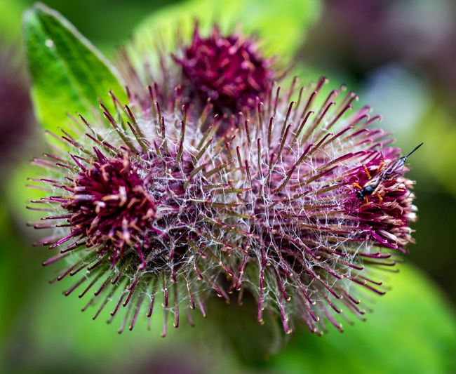Flower Flowering Plant Plant Close-up Beauty In Nature Freshness Inflorescence Vulnerability  Growth Fragility Flower Head No People Petal Nature Thistle Focus On Foreground Selective Focus Purple Day Outdoors Pollen Spiky Wilted Plant