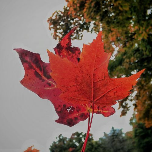 Nature Nature Photography Serene Outdoors Enjoying Life Walking Around Autumn Taking Photos Relaxing Leaf Leaf 🍂 Leafporn Leafmania Red Red Leaves Check This Out Hello World Hi! Follow4follow