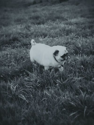 Pug My Dogs Are Cooler Than Your Kids Love
