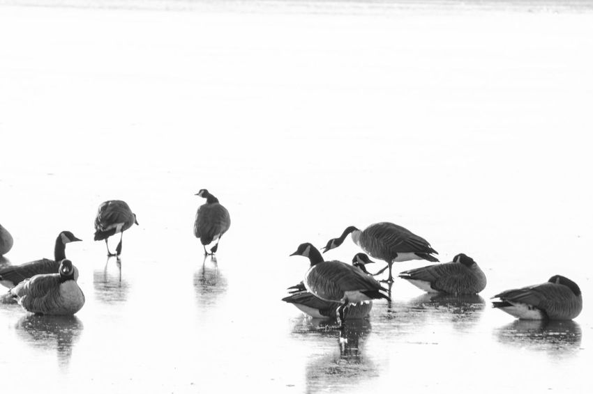Animal Themes Animal Wildlife Animals In The Wild Baltimore Beauty In Nature Bird Black & White Black And White Black And White Photography Cold Temperature Cufotos Day Lake Large Group Of Animals Maryland Nature Nikon Nikonphotography No People Outdoors Reflection Water Water Bird Winter