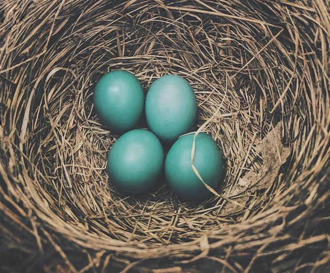 High angle view of blue eggs in nest
