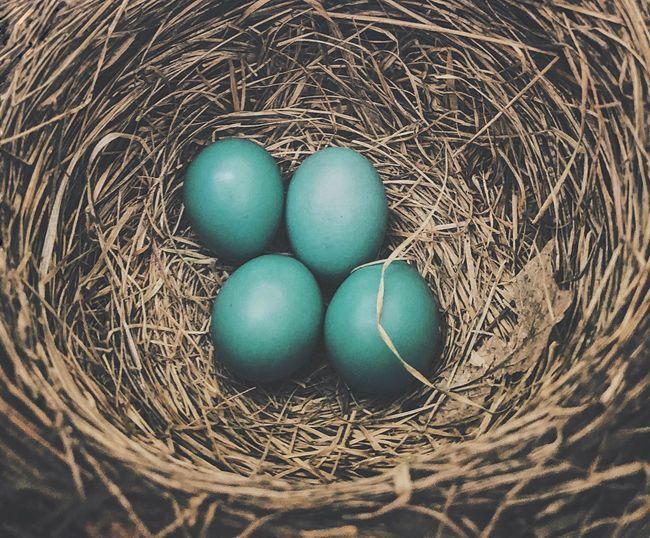 Nest Robin Eggs