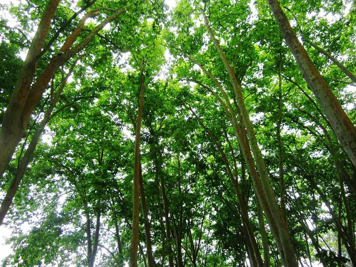 Tree Low Angle View Nature Green Color Growth Beauty In Nature Backgrounds Full Frame No People Tranquility Forest Day First Eyeem Photo Beauty In Nature First Eyem Photograpy First Eyem Photo Nature Bamboo Grove Outdoors Sky