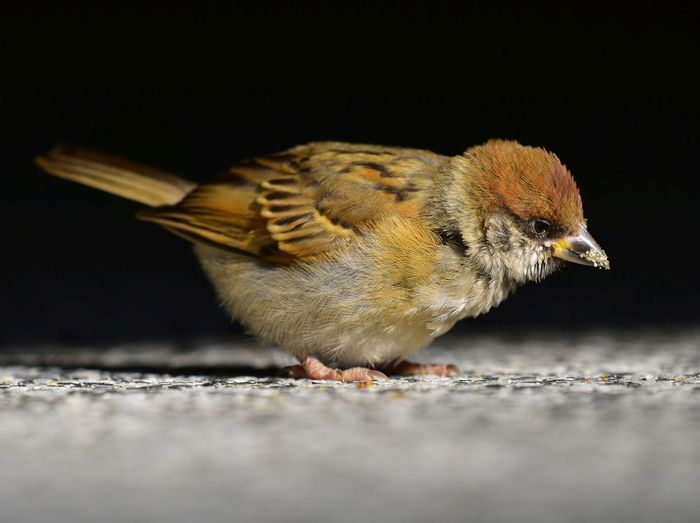 Animal Animal Themes Close-up Day Focus On Foreground Ground Nature No People Outdoors Perching Selective Focus Sparrow Wildlife