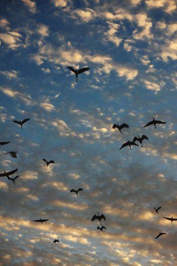 Flock Flock Birds Bird Photography Australia Sunset Clouds