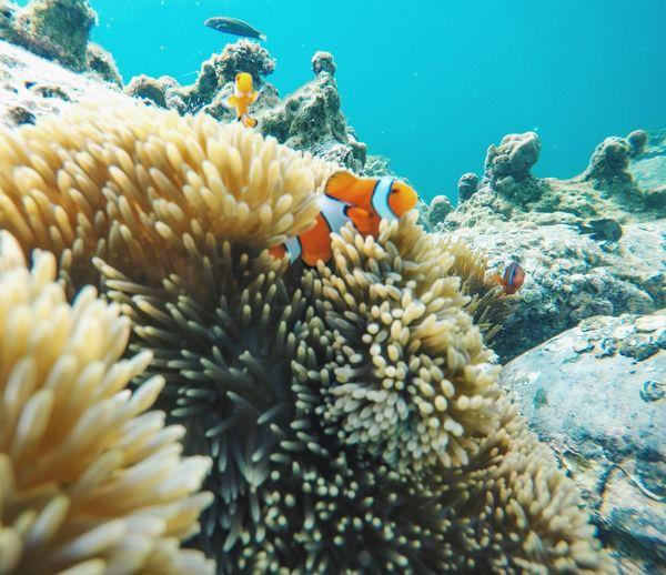 Underwater UnderSea Coral Clown Fish Sea Sea Life Sea Anemone Fish