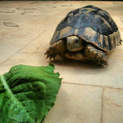 Well hello there Pete the turtle. Turtles Slowpoke Lettuce Pete