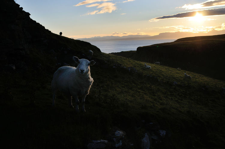 Sheep grazing in the early morning light near Culnacnoc, isle of Skye Animal Cloud Cloud - Sky Dawn Early Morning Grazing Sheep Highlands Landscape Light And Shadow Morning Morning Light No People Non-urban Scene Outdoors Scotland Sheep Sky Skyporn Sun Sunlight Water