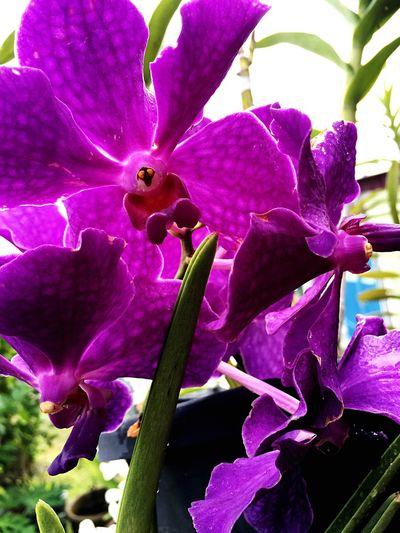 Tropics Flower Purple Plant Orchid Petal Nature EyeEmNewHere Vanda Beauty In Nature Flower Head Day Close-up Freshness Blooming Purple Flower