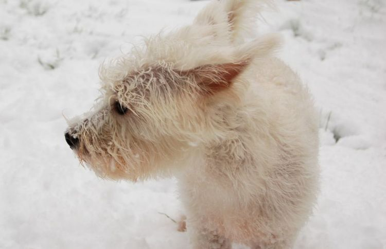 White Dog standing in the Snow Shades Of Winter Snow Cold Temperature Winter Animal Animal Hair One Animal Dog Outdoors Beauty Pets Ice Nature Frozen No People Mammal Snowflake Day Domestic Animals Animal Themes Beauty In Nature