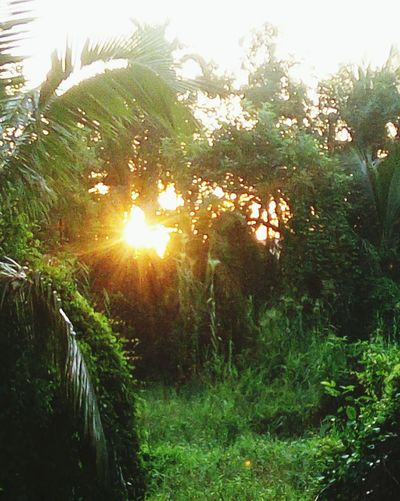 Beautifully Organized Sun Nature Sunlight Tree Sunset Sunbeam Outdoors Plant Growth No People Beauty In Nature Grass Forest Landscape Lush - Description Sky Day