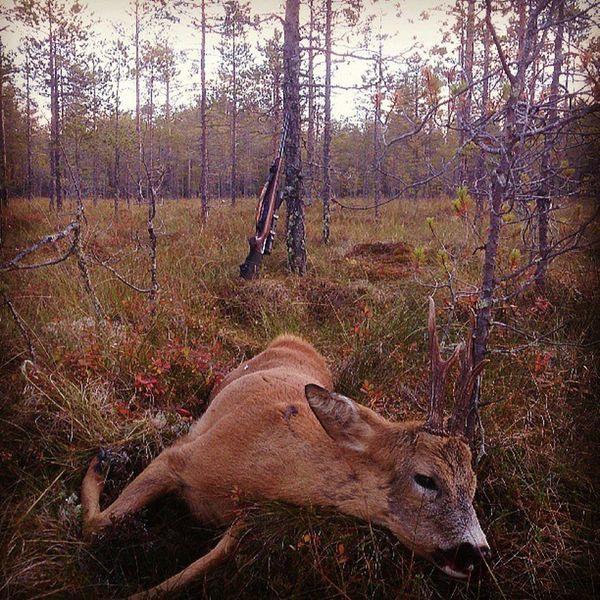 Skogsbock!Råbock Jakt Oviken Jamtland Roedeer Buck Antlers Myamazingbackyard