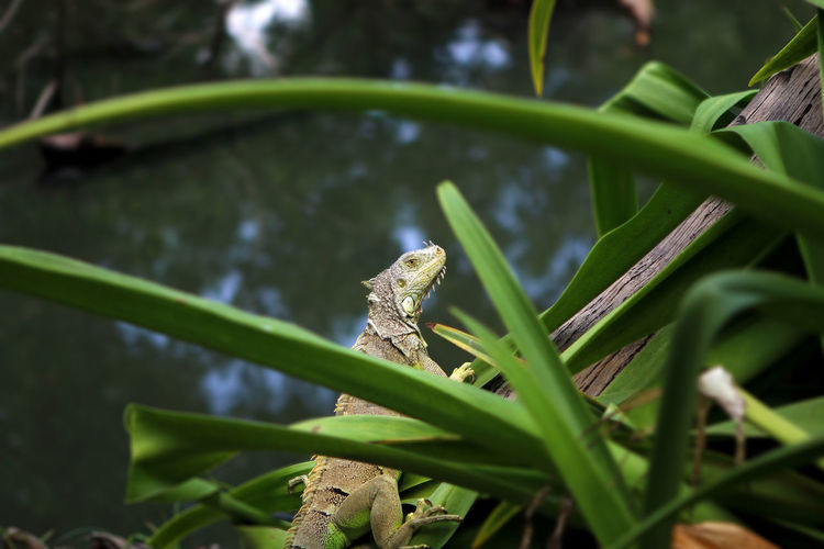 Side view of iguana on plant by river