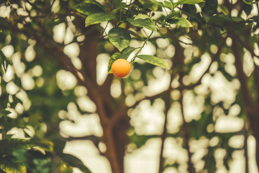Focus On Foreground Fruit Fruit Tree Macro Nature Orange Selective Focus Tree