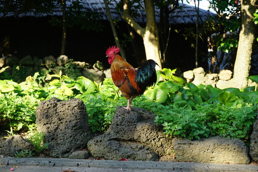 Chicken - Bird Rooster Bird Agriculture One Animal Rural Scene Outdoors No People Animal Themes Nature No Filter Domestic Animals Livestock