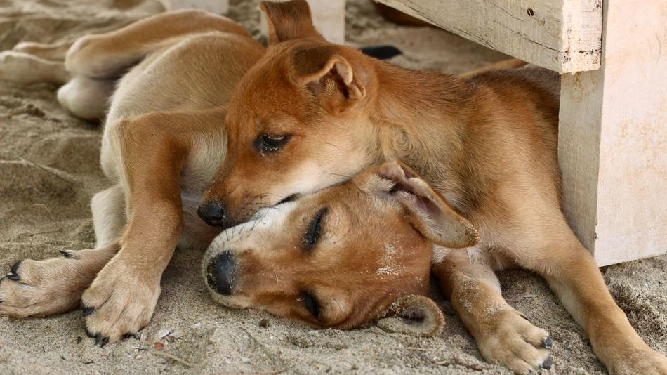 Cuddle Dogs Goa India Innocence Siblings Young Affection Animal Themes Beach Close Cuddling Dog Nap Napping Dogs No People Puppies Puppy Sand