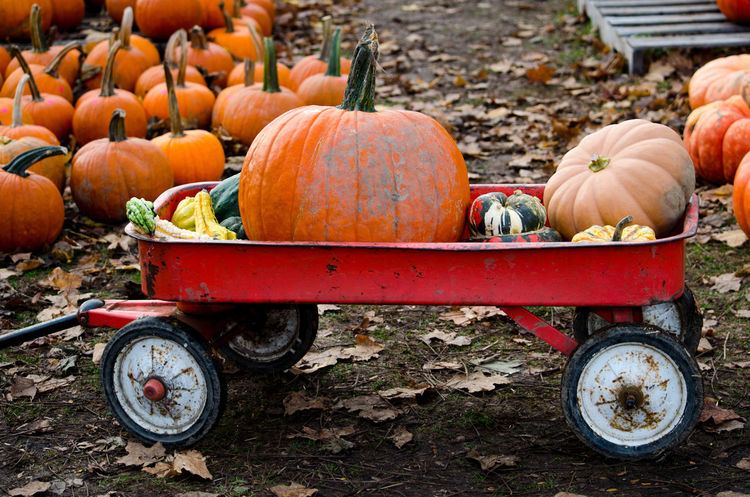 a red wagon filled with pumpkins and gourds make a fun way to gather halloween decorations Autumn Fall Beauty Fall Colors Halloween Michigan Pumpkins Rustic Thanksgiving USA Vegetables & Fruits Agriculture Autumn Close-up Decorations Farm Food And Drink Freshness Gourds Orange Color Outdoors Red Wagon Seasonal Squash - Vegetable Transportation