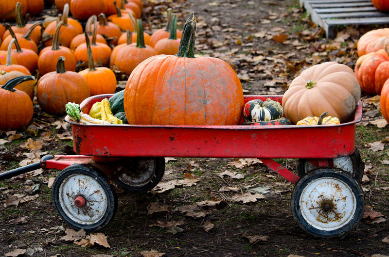 Red wagon filled with pumpkins and gourds is used to gather halloween decorations