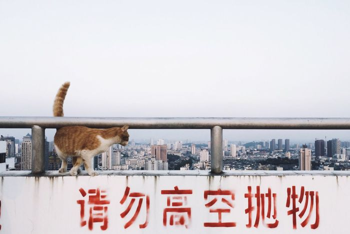 Cat Gatto Rooftop Chat Catwalk
