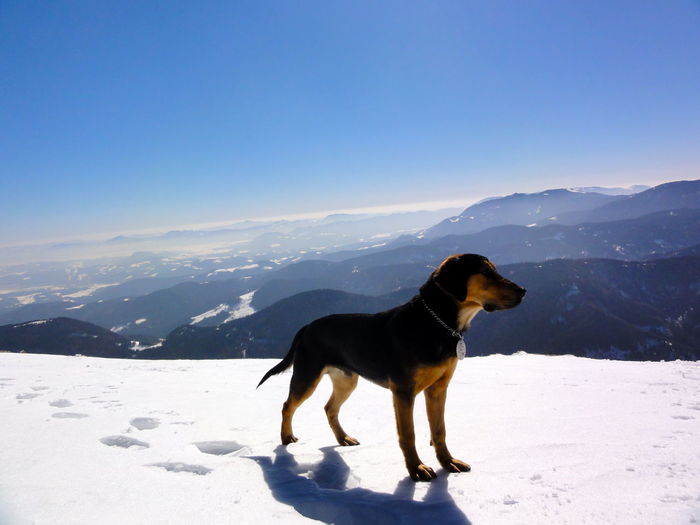 Dog standing on snow covered mountain against clear blue sky