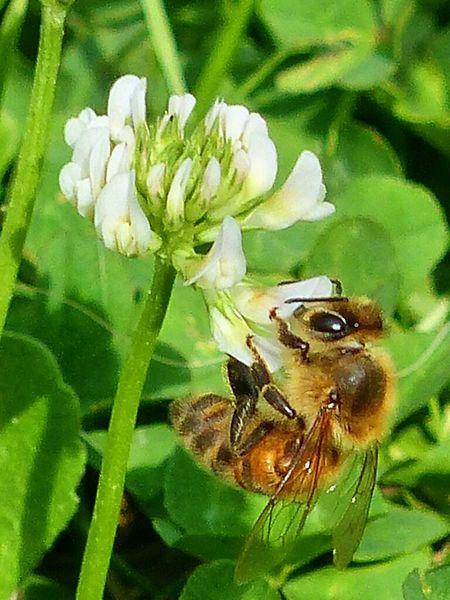 Biene an der Kleeblüte 1