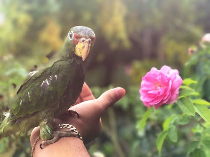 Nature One Animal People Photography Plant Nature Photography Nature_collection Naturephotography Rose Rose Flower Nature Roses Human Body Part Human Hand One Person Headshot Adult Bird Day Pink Color Outdoors Close-up Focus On Foreground Holding Multi Colored Beak Adults Only First Eyeem Photo