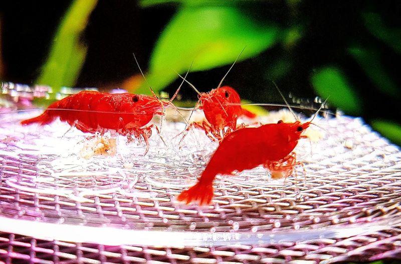 Close-up Red Underwater Aquarium Crustacean Beauty In Nature Shrimps For Aquarium Aquarium Photography Nanotank Aquarium Life Shrimp Lovers Samsung Galaxy S7 Edge Phonegraphy