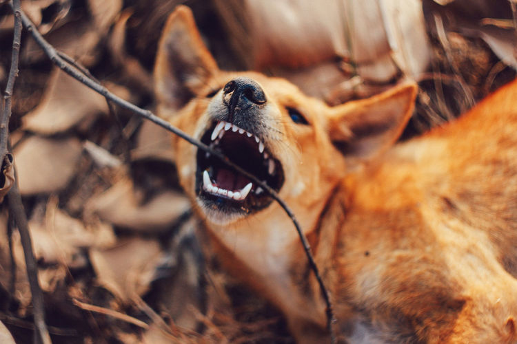 Animal Themes One Animal Animal Mammal Vertebrate Canine Dog No People Domestic Animal Body Part Close-up Nature Pets Day Domestic Animals Animal Head  Animal Wildlife Selective Focus Brown Animals In The Wild Outdoors Mouth Open Animal Mouth