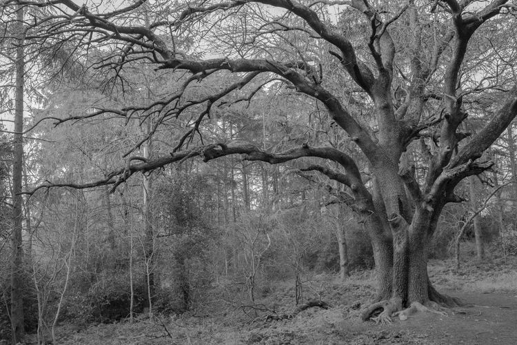 Tree Plant Forest Land Nature Branch No People Tranquility Environment Spooky Bare Tree Beauty In Nature Scenics - Nature Outdoors Tree Trunk Landscape Non-urban Scene Trunk Winter Climate Black And White
